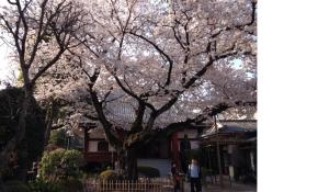 圓通寺のソメイヨシノ大樹