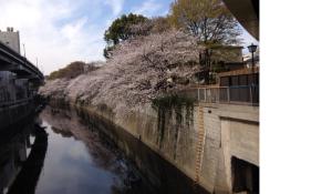 江戸川橋からの神田川の桜